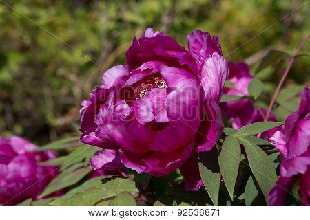 Blossoming peony