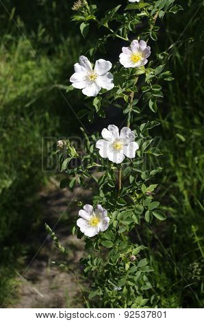 Rose Hip Branch With Flowers