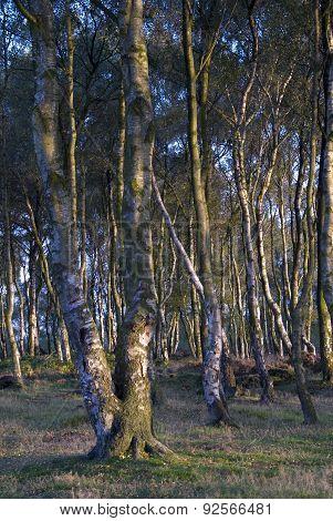 Silver Birch Trees, UK