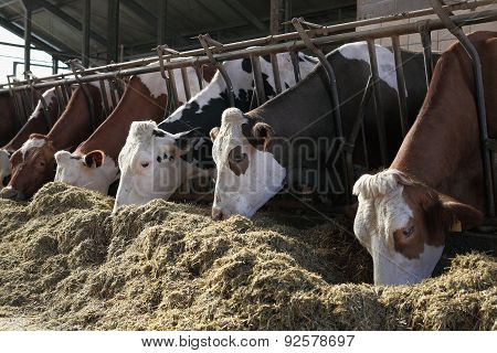 cows lined up on the farm in the barn eating