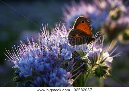 Butterfly on Phacelia Tanacetifolia Flower at sunset