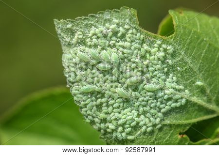 leaf with plant louse closeup
