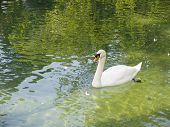 the white swan floats in lake with mirror water poster