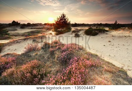 sunset sunshine over dunes with flowering heather