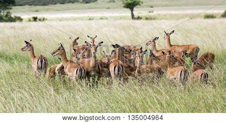 Herd of black-faced impala antelopes (Aepyceros melampus) in the tall grass savanna at Tarangire National Park, Tanzania.