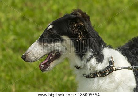 Portrait of Russian wolfhound on green background.