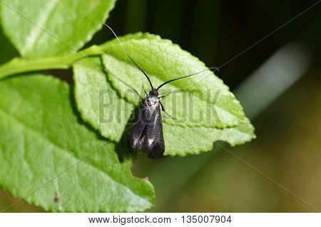 A Green Longhorn (Adela reaumurella) on a leaf.