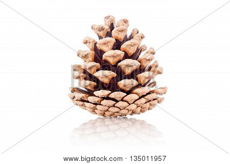pine cone isolated on a white background