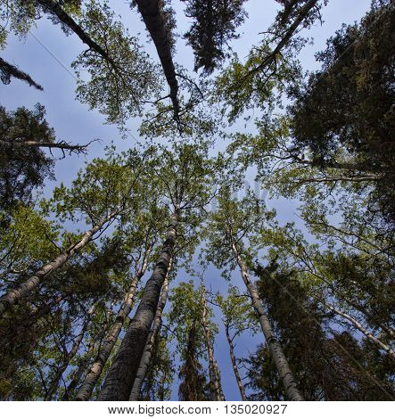 Stand of tall trees in the Boreal forest in Saskatchewan Canada