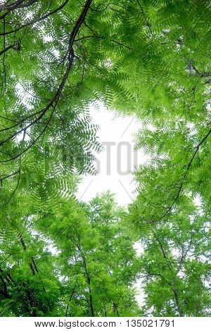 Crown of trees with pale green leaves and sky in the center of the lumen.