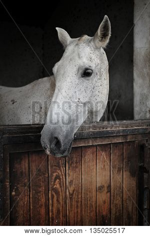 White mare from portuguese Alter Real breed