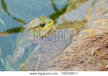 Bullfrog sitting on a rock in a swamp.