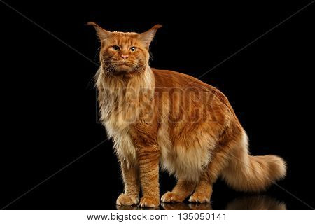 Furry Red Maine Coon Cat Standing and Looking in Camera Isolated on Black Background