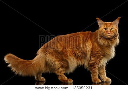 Furry Red Maine Coon Cat Standing and Looking in Camera Isolated on Black Background, Side view
