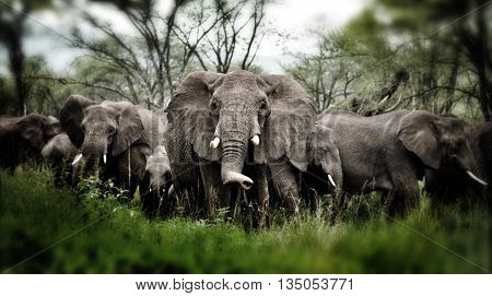 Herd of Elephants , Serengeti natural park, Tanzania