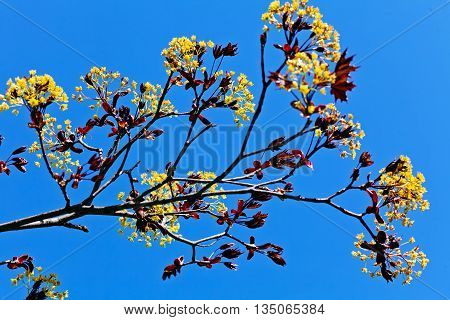 Branches With Yellow  Blossoms