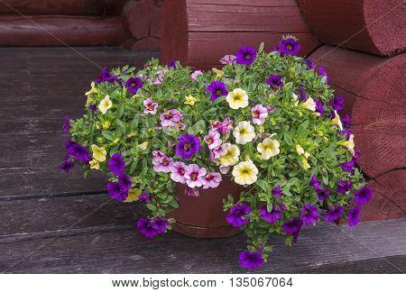 Bright vibrant petunia flowers multicolor petunias in the garden