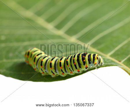 Crawling On Leaf Caterpillar