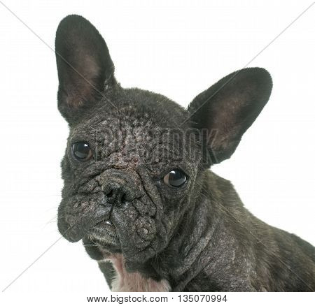 french bulldog with Demodicosis in front of white background