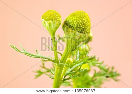 A flower pineappleweed on a pink background