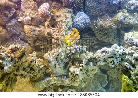 close up on Copperband butterflyfish (Chelmon rostratus)