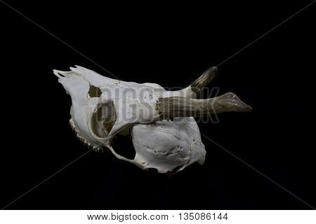 Deer Skull with broken Antlers on black background