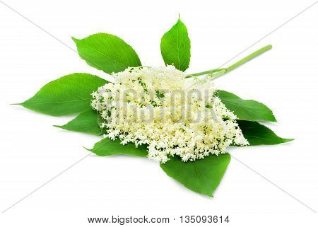 Sprig of sambucus with green leaves isolated on a white background. Design element for product label, catalog print, web use.