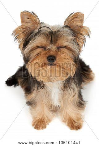 Puppy closed eyes sitting on white isolated background
