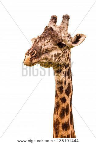 Close up Giraffe portrait on a white background