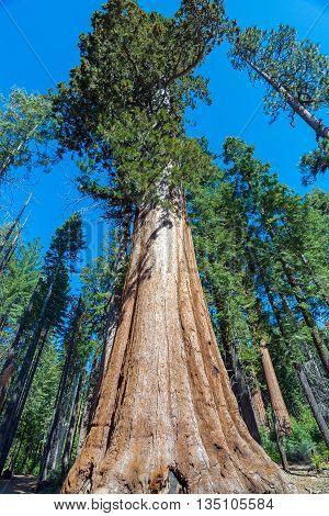 Sequoia Tree in Sequoia National Park California
