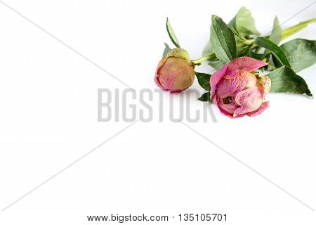 two dried peony flower on a white background