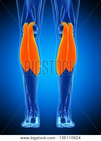 3d rendered, medically accurate illustration of the gastrocnemius