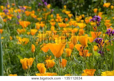 Eschscholzia is a genus of 12 annual or perennial plants in the Papaveraceae (poppy) family. The genus was named after the Baltic German/Imperial Russian botanist Johann Friedrich von Eschscholtz