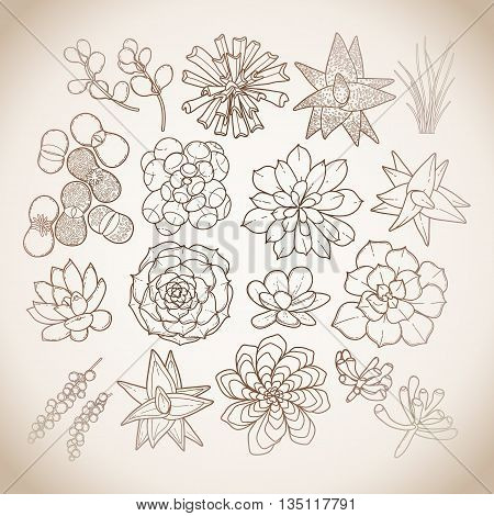 Graphic isolated succulent collection in brawn colors. Vector floral design