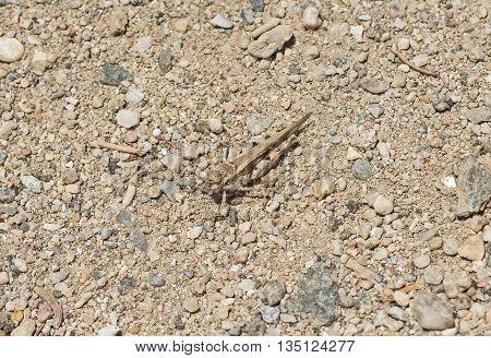 Least desert grasshopper xeracris minimus closeup macro on a stony ground background