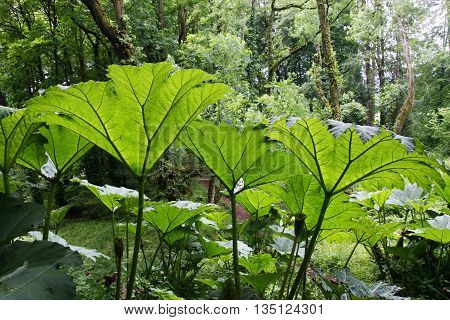 Giant Gunnera plants with sunlight shining through the leaves
