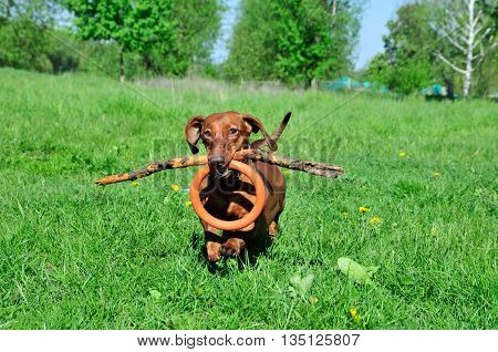 Dog breed standard smooth-haired dachshund, bright red color. Dog running with flying saucer. Dog playing. Dog for a walk. The dog carries a stick and a rubber ring.