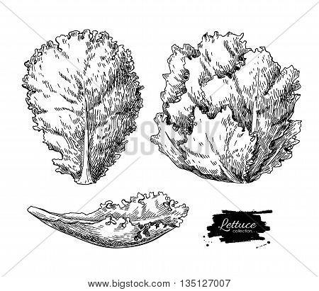 Lettuce hand drawn vector illustrations set. Vegetable engraved style illustration. Isolated Lettuce salad. Detailed vegetarian food drawing. Farm market product.