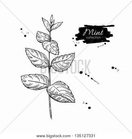 Mint vector drawing. Isolated mint plant with leaves. Herbal engraved style illustration. Detailed organic product sketch. Cooking spicy ingredient
