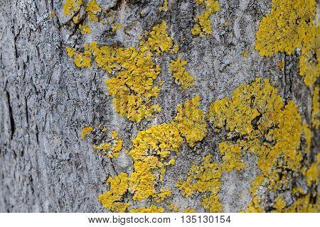 Epiphytic lichens on tree bark. Xanthoria parietina. Wooden texture background