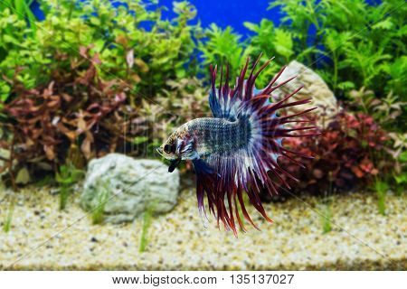 Siamese fighting fish with green plants in water