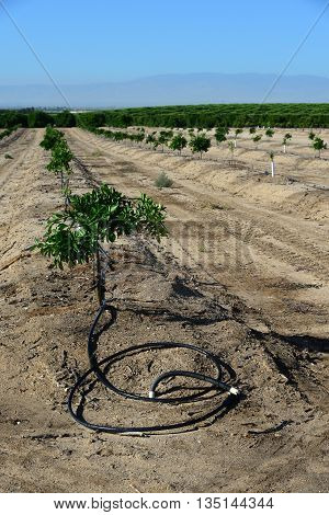 Newly planted almond trees on a San Joaquin Valley farm are watered with a drip irrigation system seeking efficiency in a time of drought in California.
