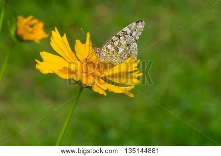 Painted Lady (Vanessa cardui) butterfly sucking nectar on a Coreopsis flower at summer time