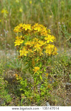 Hypericum flowers, Hypericum perforatum or St John's wort