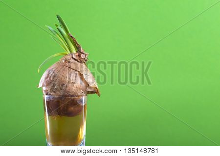 green onion sprouts grows from old bulb submerged in water