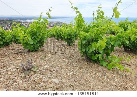 Vineyard in Languedoc-Roussillon France near Banyuls and Collioure at summer growing the famous grapes of the Banyuls wine