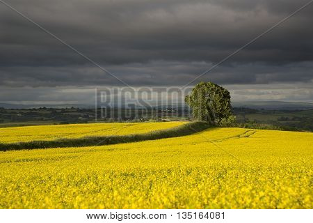 Tree in golden rape seed fields, in the golden hour with stormy sky, cornwall, uk