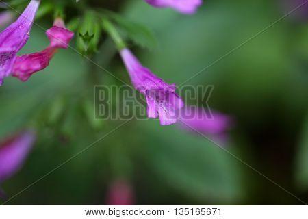 Flower of a large flowered mint (Calamintha grandiflora)