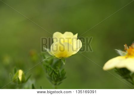 Flower of the sulphur cinquefoil (Potentilla recta)
