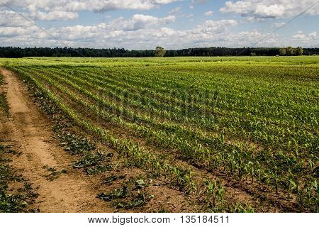 agroculture corn field growing in early summer